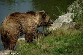 brown bear 3